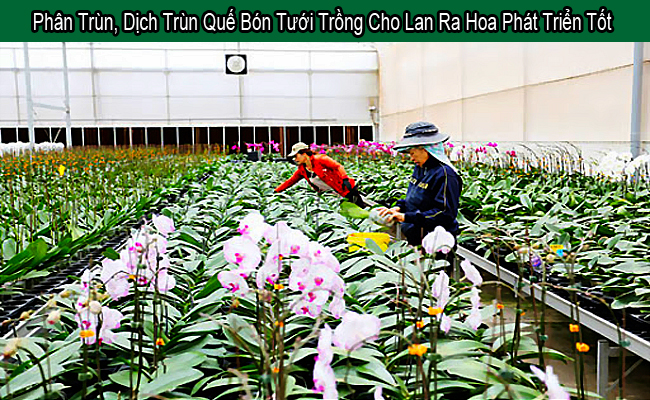 phan dich trun que bon tuoi trong cho hoa lan ra hoa phat trien tot